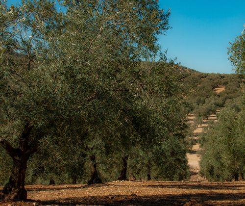 Olivo Aceites Tapia (AOVE)