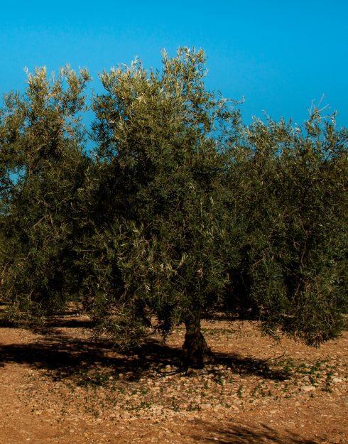 olivo solo